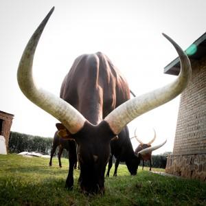 4_Long Horn Cattle Nyanza, Rwanda
